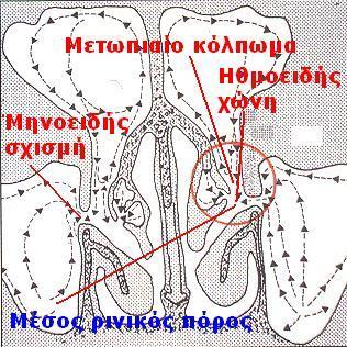 Στομιοστικό σύμπλεγμα, μέσος ρινικός πόρος, ηθμοειδής χώνη, μετωπιαίο κόλπωμα, μηνοειδής σχισμή